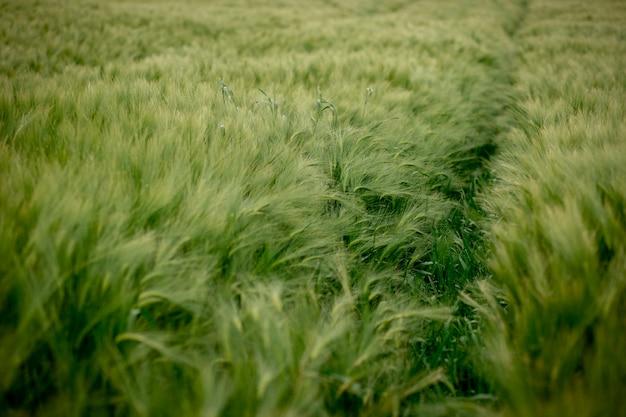 Campo de cevada verde em um dia ensolarado