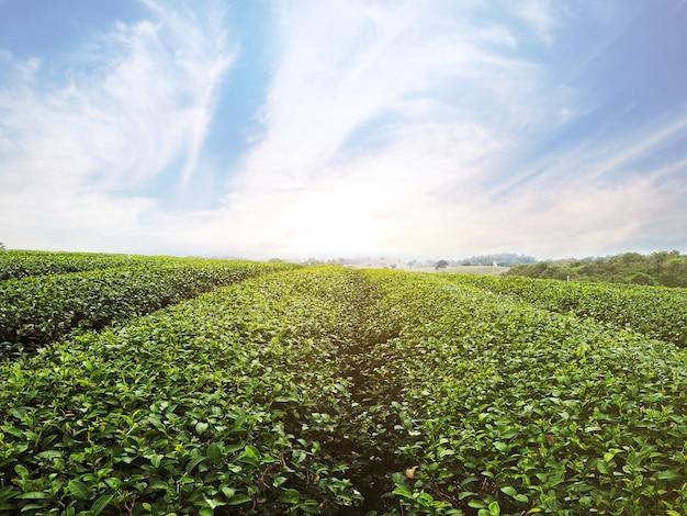 Campo de chá verde com céu azul ao nascer do sol no norte da tailândia. paisagem e fundo da primavera