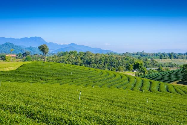 Campo de chá verde com céu azul