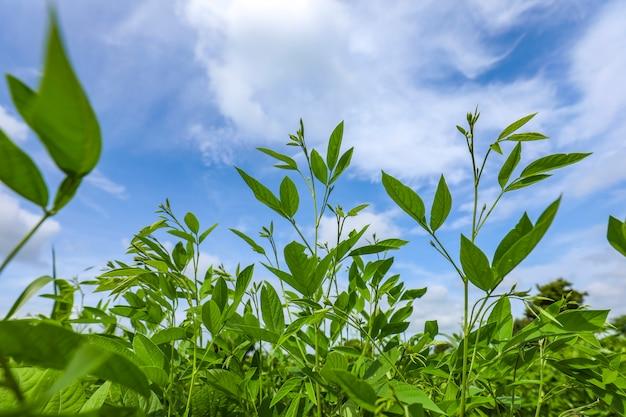 Campo de colheita de ervilha de pombo com céu azul