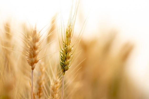Campo de colheita de trigo.