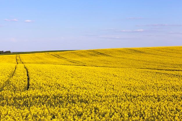 Campo de colza amarela contra o céu, bitola do movimento das atividades agrícolas