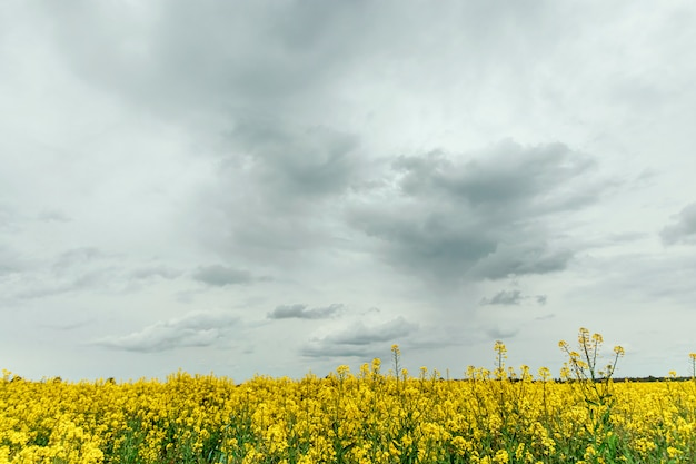 Campo de colza amarelo de paisagem de verão linda e céu azul. copie o espaço.