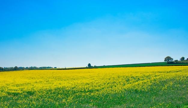 Campo de colza amarelo e céu azul no dia quente de primavera em yorkshire