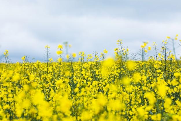 Campo de colza amarelo. florescendo flores de canola.
