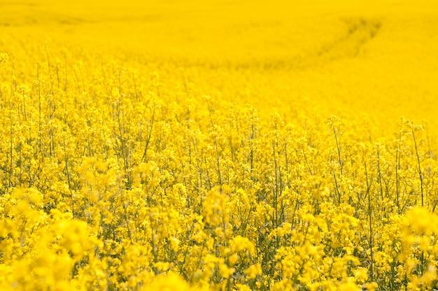 Campo de colza amarelo