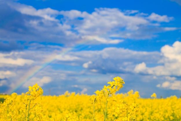Campo de colza com arco-íris no céu