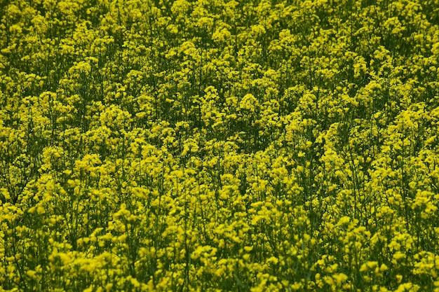 Campo de colza florescendo em todo o plano de fundo em cores vivas