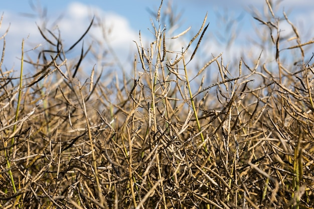Campo de colza madura antes da colheita