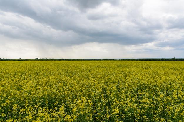 Campo de colza no dia chuvoso, panorama de flores desabrochando de canola. estupro no campo no verão em tempo nublado. óleo de colza amarelo brilhante
