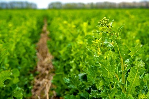 Campo de colza semeado com tecnologia strip-till antes da floração.