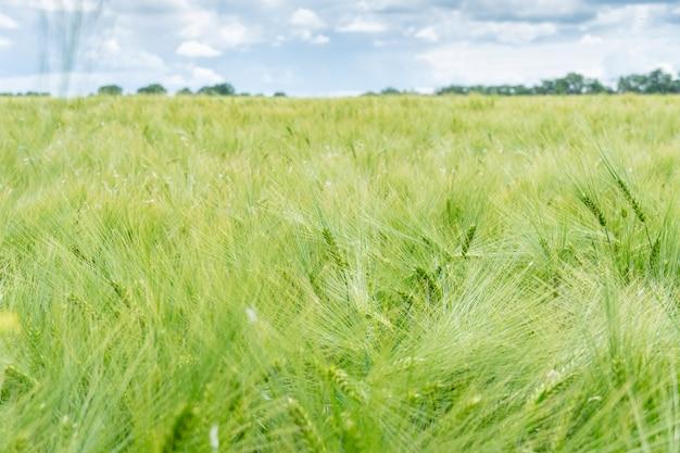 Campo de cultivo de cevada verde com muitas espigas de perto