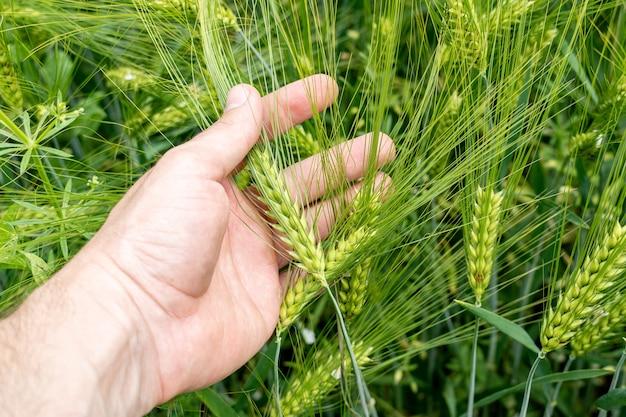Campo de cultivo de cevada verde com muitas espigas em mãos