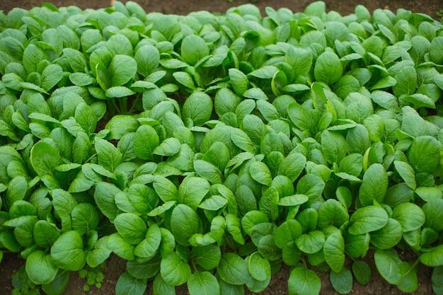 Campo de cultivo de espinafre verde no japão