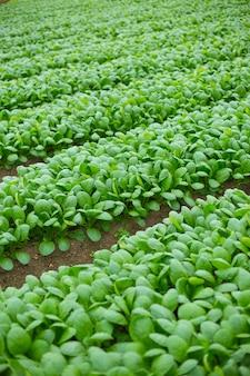 Campo de cultivo verde dos espinafres em japão.