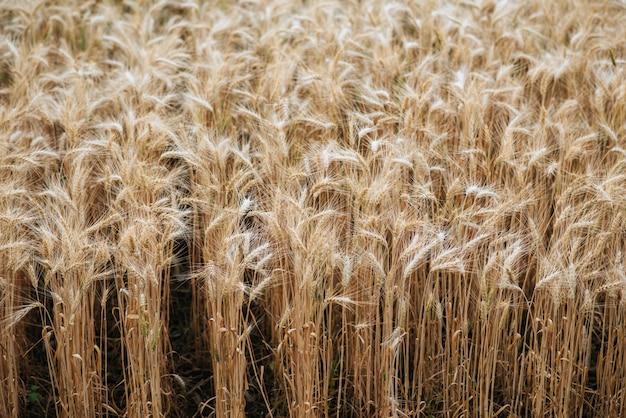Campo de fazenda de trigo