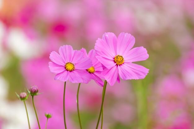 Campo de flor do cosmos