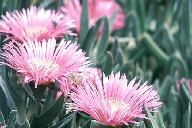 Campo de floração de karkalla.