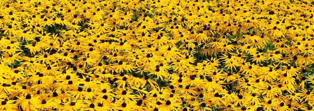 Campo de flores amarelas de coneflower laranja também chamado de rudbeckia.