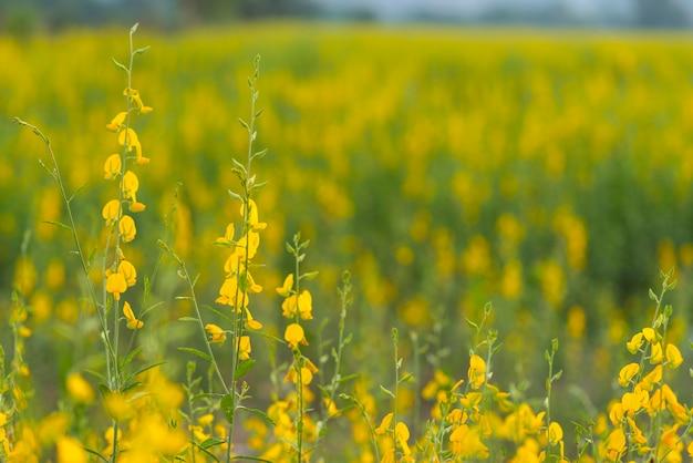 Campo de flores amarelas na montanha da tailândia