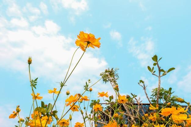 Campo de flores amarelo cosmos e céu azul