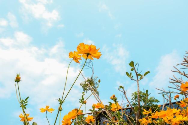 Campo de flores amarelo do cosmos na porta para fora com céu azul, fundo da natureza.