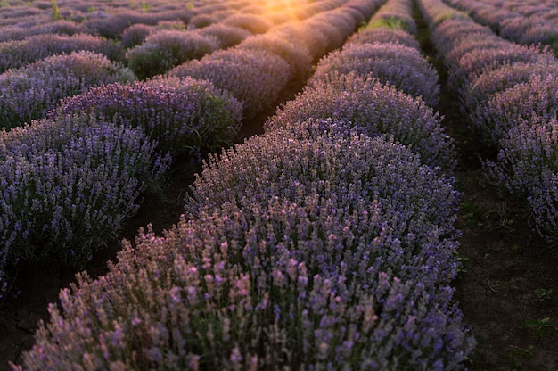 Campo de flores bela paisagem