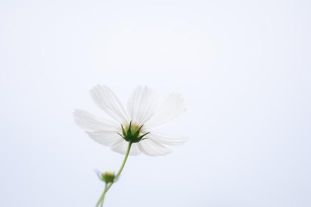 Campo de flores brancas do cosmos do foco seletivo macio bonito com espaço da cópia
