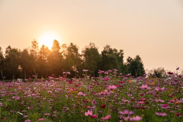 Campo de flores coloridas do cosmos que floresce no pôr do sol.