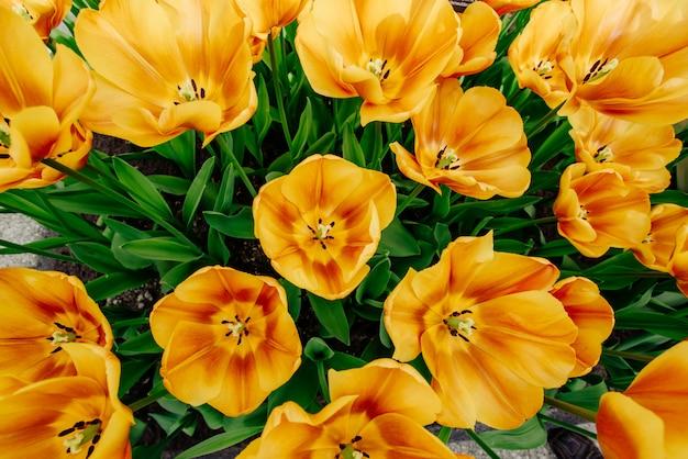 Campo de flores com tulipas coloridas.