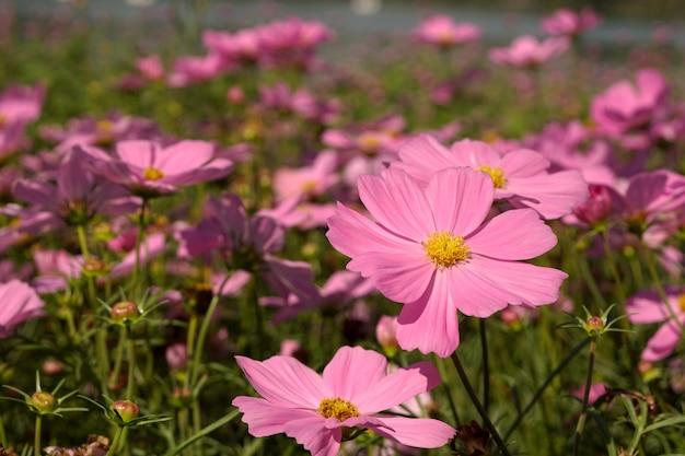 Campo de flores cosmos sulphureus rosa ou roxo claro no jardim
