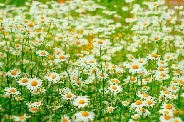 Campo de flores de camomila abstrata turva