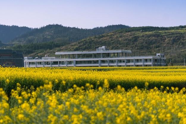 Campo de flores de colza amarelo com céu azul no condado de luoping, china