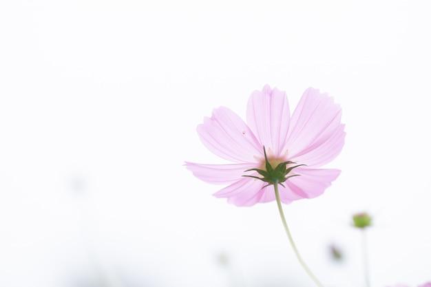 Campo de flores de cosmos rosa suave foco seletivo bonito com espaço de cópia