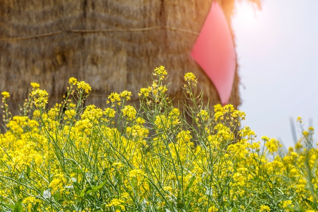 Campo de flores de estupro e celeiro