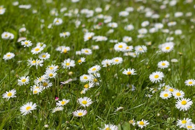 Campo de flores de linda primavera com margaridas e grama verde