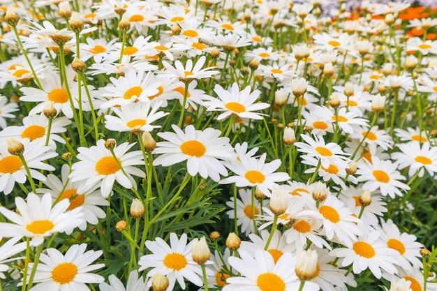 Campo de flores de margaridas lindas camomiles brancas em prado verde