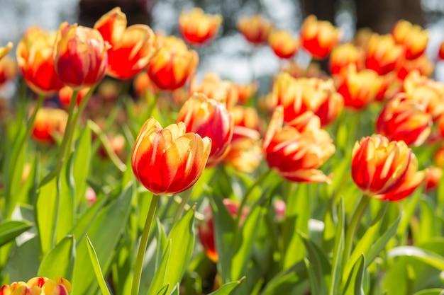 Campo de flores de tulipas vermelhas e amarelas