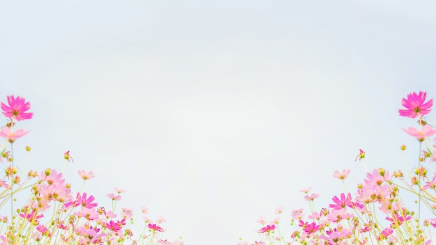 Campo de flores do cosmos no fundo do céu azul