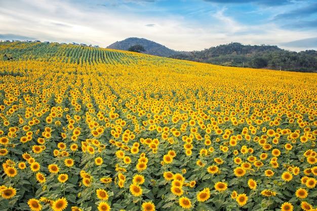Campo de flores do sol