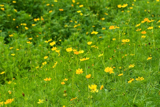 Campo de flores lindo cosmos amarelo
