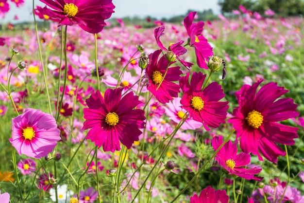 Campo de flores rosa cosmos de perto