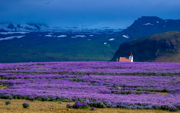 Campo de flores roxas com uma casa à distância perto de um penhasco e montanhas
