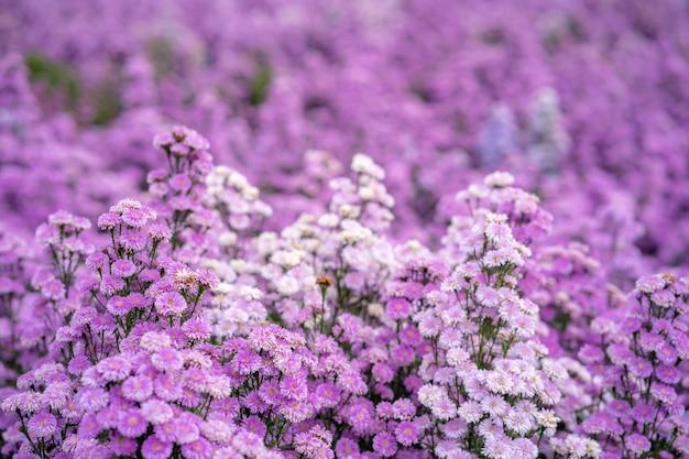 Campo de flores roxas margaret
