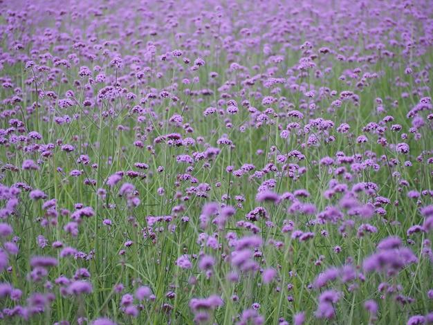 Campo de flores verbena brilhante de manhã