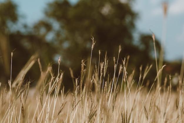 Campo de foco suave de grama amarelada durante o pôr do sol