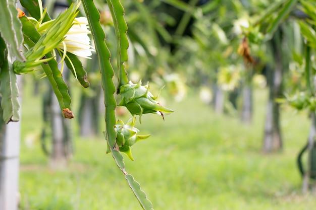 Campo de fruta do dragão ou paisagem de campo de pitaiaiás, um pitaya ou pitaiaiás é o fruto de várias espécies de cactos nativas das américas