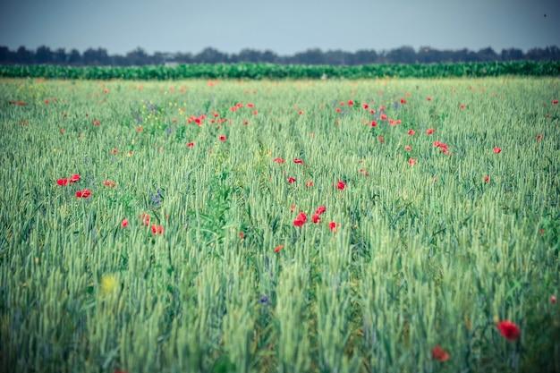 Campo de fundo com brotos verdes de grãos e flores de papoula, cor verde