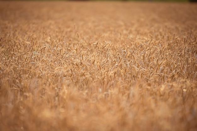 Campo de fundo de espigas de trigo amarelo papel de parede