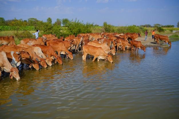Campo de gado indiano perto do rio